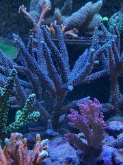 Ableger SPS LPS Weich Korallen