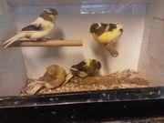 Gloster Kanarienvögel