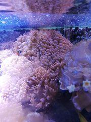 Kupferanemonen Meerwasser