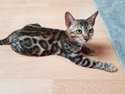 Bengal Kitten brown black Tabby