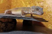 Leopardgecko Weibchen 2020 Eublepharis macularius