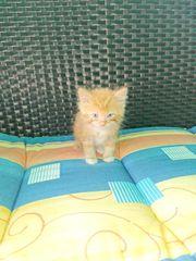 blh bkh Kätzchen