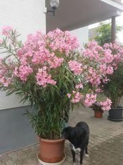 Oleander rosa weiß