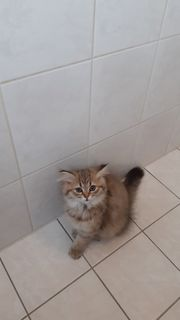 Bkh deck Katze
