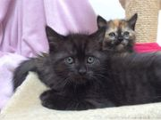 Zuckersüße Perser BKH Mix Kitten