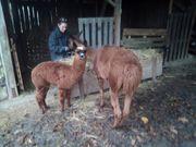 Verkaufe Alpaka Stute mit Sohn