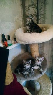 Bkh whiskas letzte Kitten