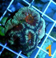 Korallen Anemonen Krusten LPS SPS