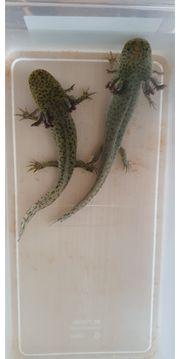 Axolotl Nachzuchten von Februar 21
