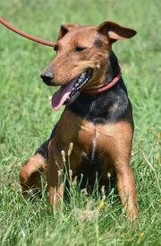 Ansca eine außergewöhnliche Terrier-Mischlingshündin