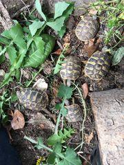 Griechische Landschildkröten mit Papieren