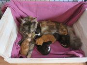 Maine Coon Kitten vom Drachensee
