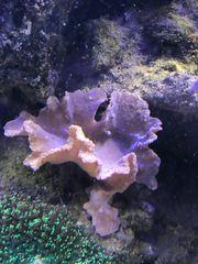Ohrenlederkoralle Meerwasser Meerwasseraquarium