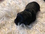 Labrador welpe schwarz sucht seine