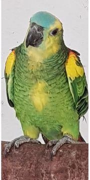 Bahia Gelbflügel Blaustirnamazone mit gelb