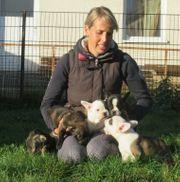 Tolle Französische Bulldoggen zu verkaufen