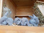 Zwergwidder - Zwergkaninchen - Kaninchen abzugeben