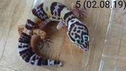 Drei süße Leopardgecko-Nachzuchten von Aug