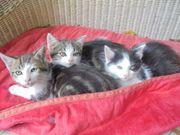 Babykatzen - 3 Monate alt zu