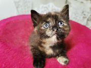 Süsses BKH Mix Kitten weiblich