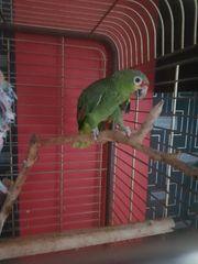 Papagei abzugeben