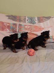 Yorkshire-Terrier-Welpe