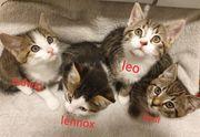 Katzenbabys Babykatzen 9 Wochen ab