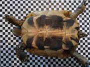 Griechische Landschildkröte Weibchen 11 Jahre