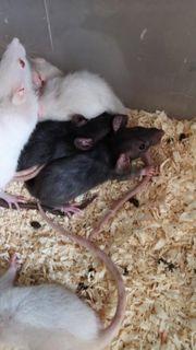Ratten Babys