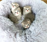 BKH Britisch Kurzhaar Katze Kitten