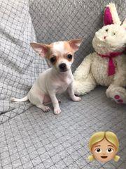 Chihuahua Welpen bis 2 KG