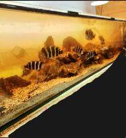 Aquarium mit Frontosa Burundi