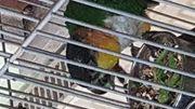 1 0 Grünzügel Papagei DNZ