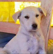 Dringend Labrador Mix in gute