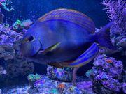 Meerwasser Doktorfisch Acanthurus xanthopterus