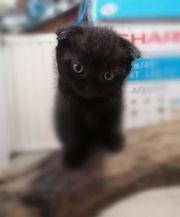 Schottische hängende Kätzchen