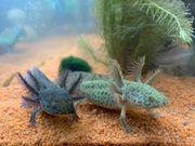 Verschiedene Axolotl Jungtiere