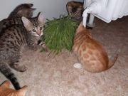 Babykatzen Mix- EKH und Bengalkater