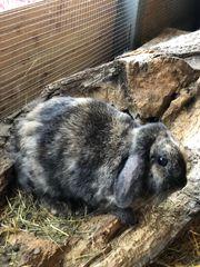 Zwergwidder Zwergkaninchen Kaninchen weiblich ca2
