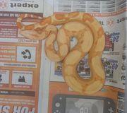 Albino Boa constrictor sunglow het