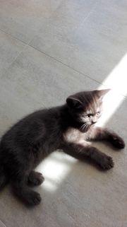 BKH - Scottish Fold kitten