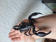 Handzahme Skorpione Zuchtpaar