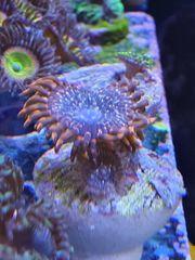 Meerwasser Korallen Zoanthus Montipora Krustenanemonen