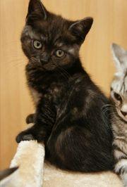 BKH Kitten Babykatzen in dunkelbraun