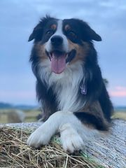 Australian Shepherd Deckrüde