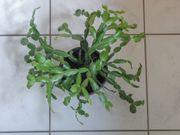 Zimmerpflanze und Weihnachtskaktus