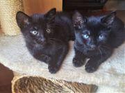 2 schwarze süsse Mix-Kitten abgabebereit