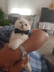 Reinrassige BKH Kitten suchen neues