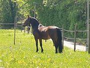 Pferd als Beisteller