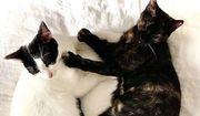 Zas Boo blindes Katzenpaar ca